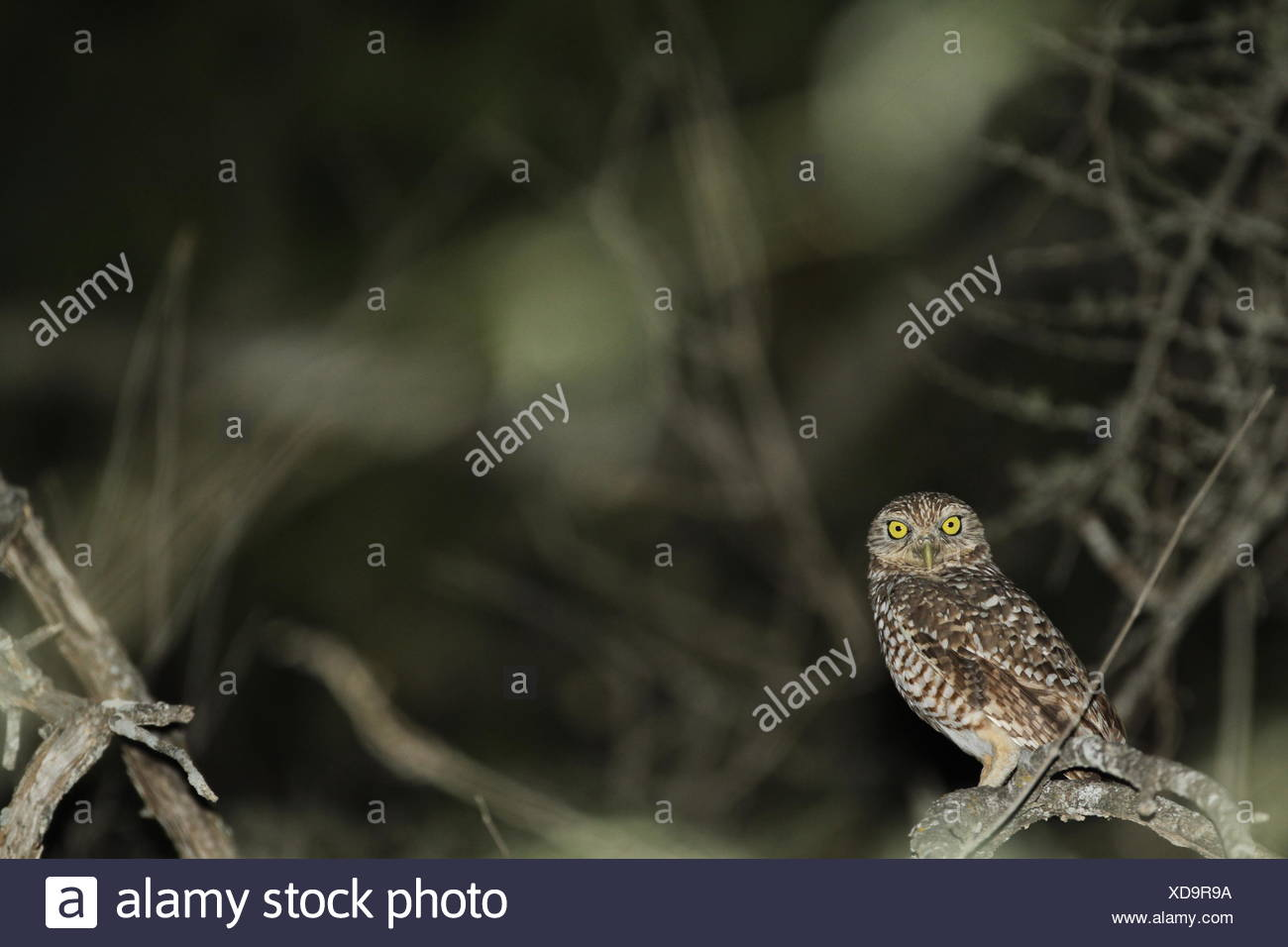 A burrowing owl, Athene cunicularia, perching on the branch of a tree. - Stock Image
