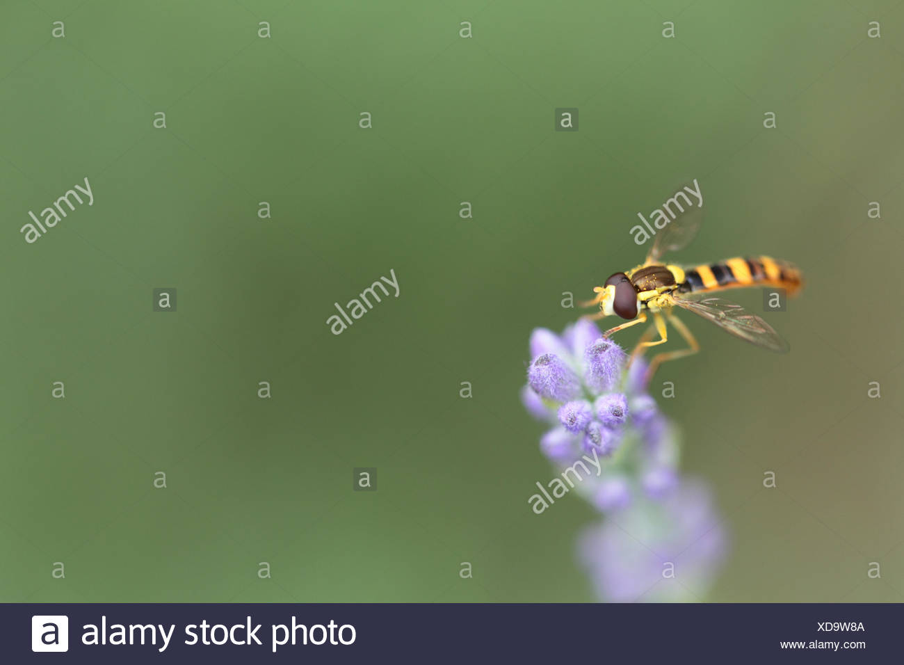 Hoverflies, sometimes called flower flies or syrphid flies, make up the insect family Syrphidae. They are often seen hovering or nectaring at flowers. This one is on a lavender flower, Lavandula angustifolia. - Stock Image