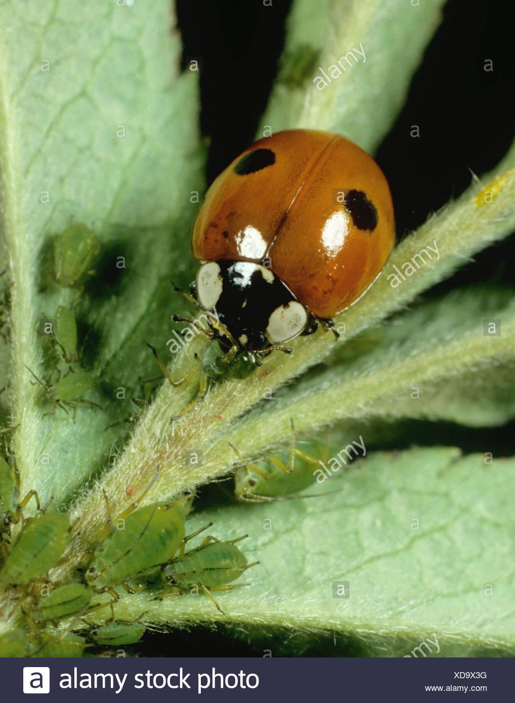 Two spot ladybird Adala bipunctata feeding on rose aphids Macrosiphum rosae - Stock Image
