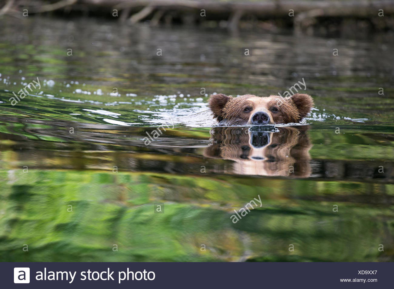 Grizzly bear (Ursus arctos horribilis), large male, swimming, Khutzeymateen Grizzly Bear Sanctuary, British Columbia, Canada. - Stock Image