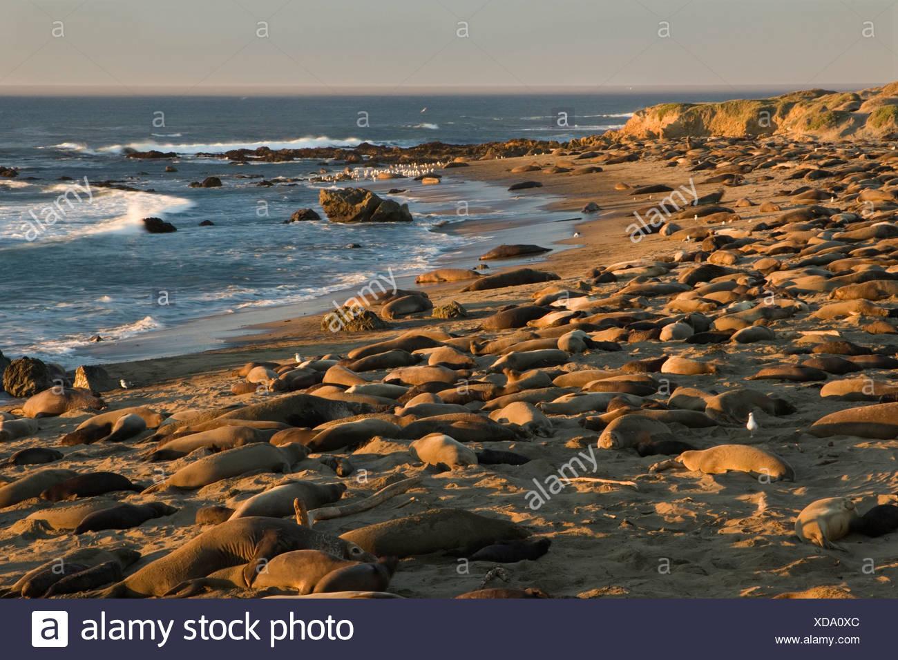 Northern elephant seals (Mirounga angustirostris) at breeding colony, Piedras Blancas, California, USA - Stock Image