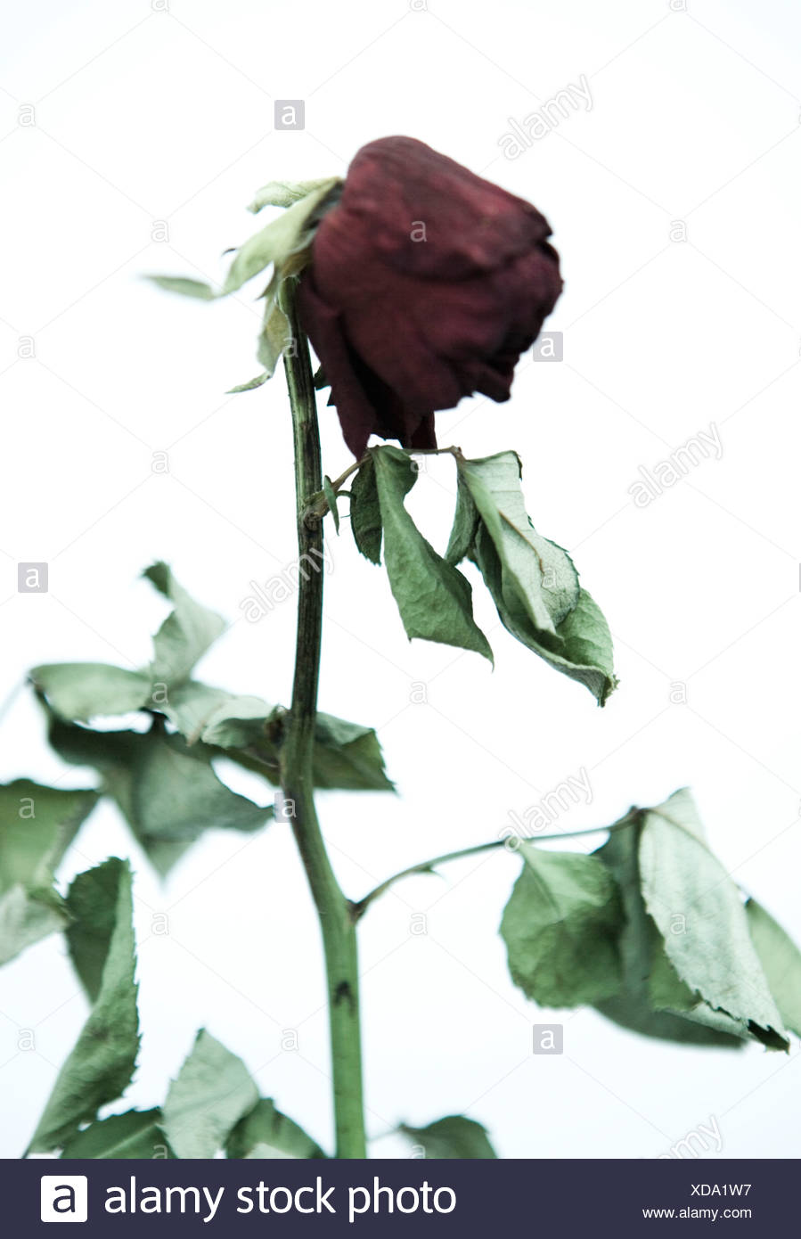 dying rose against a white background stock photo