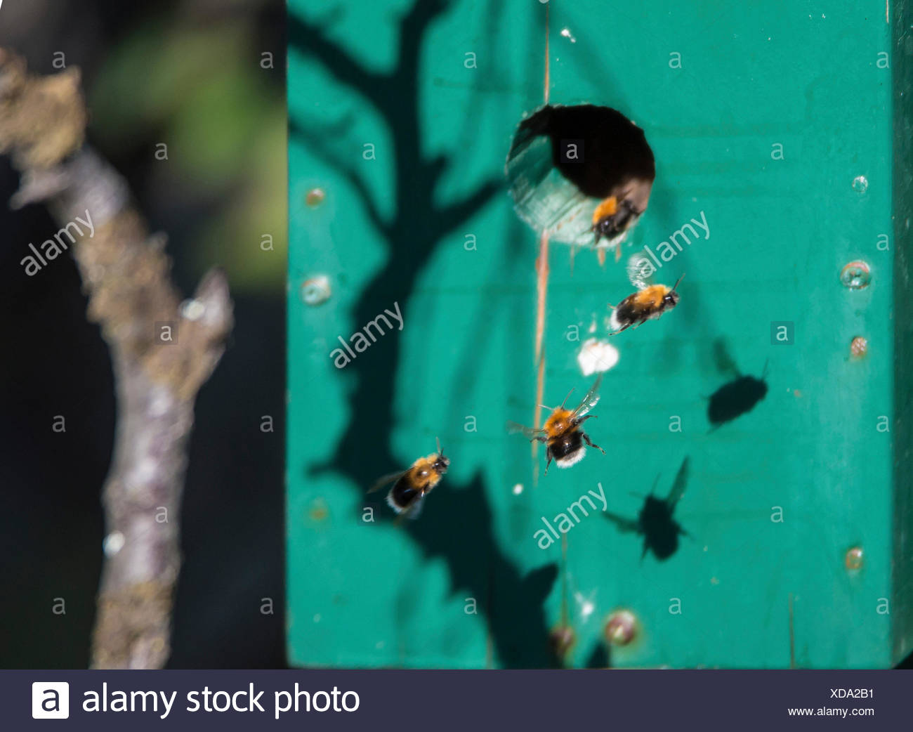 flying bumble bees in front of birdhouse, Norway, Troms - Stock Image