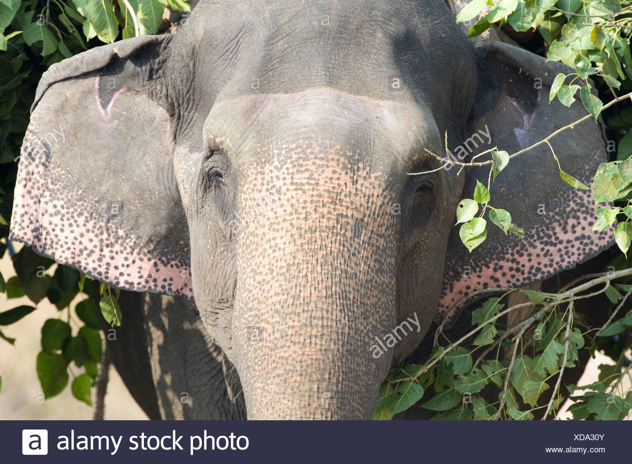 Portrait elephant carrying tree branches mahout - Stock Image