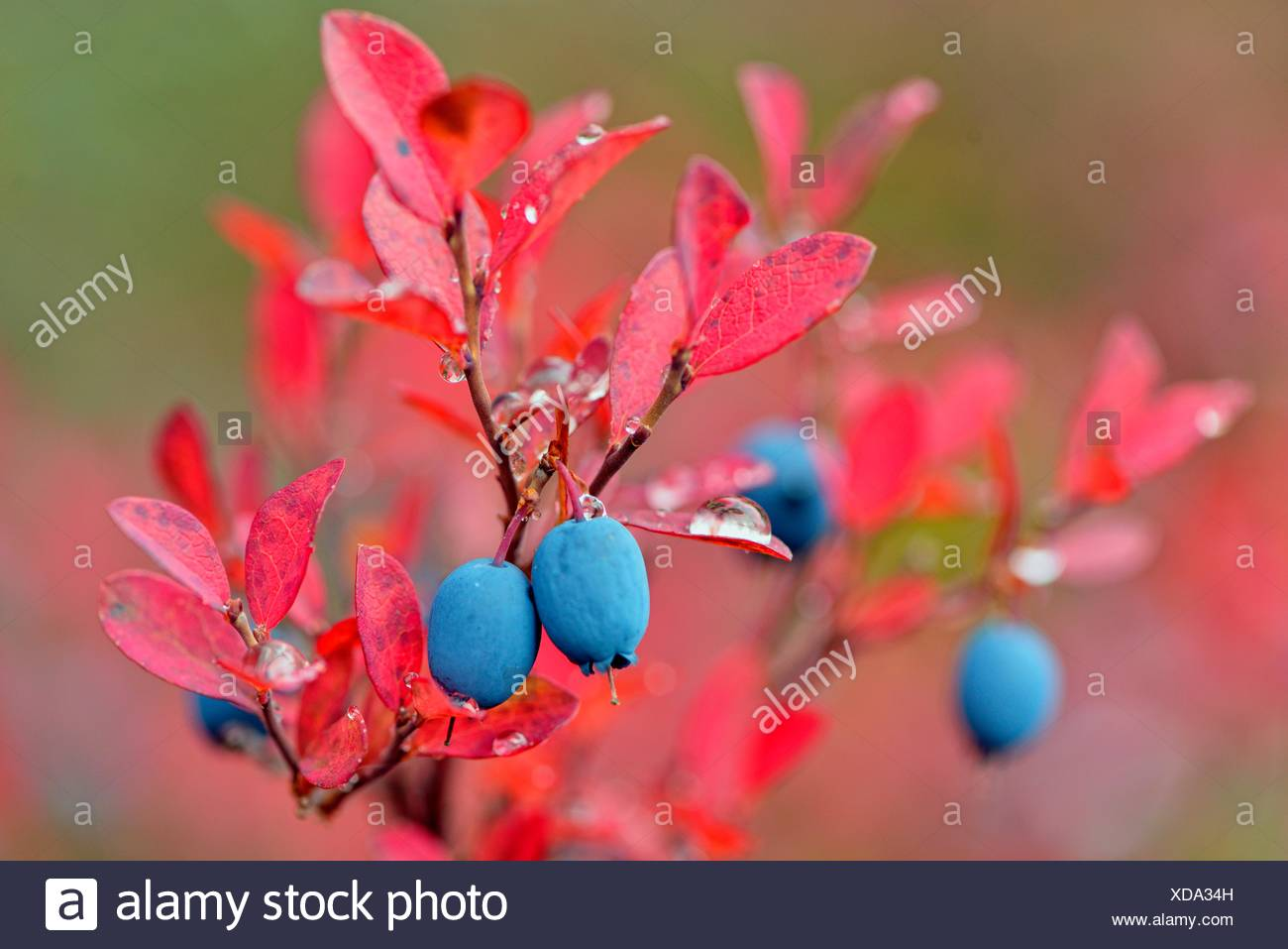 Barrenground vegetation in autumn- arctic lowbush blueberry (Vaccinium uliginosum), Arctic Haven Lodge, Ennadai Lake, Nunavut, Canada. - Stock Image