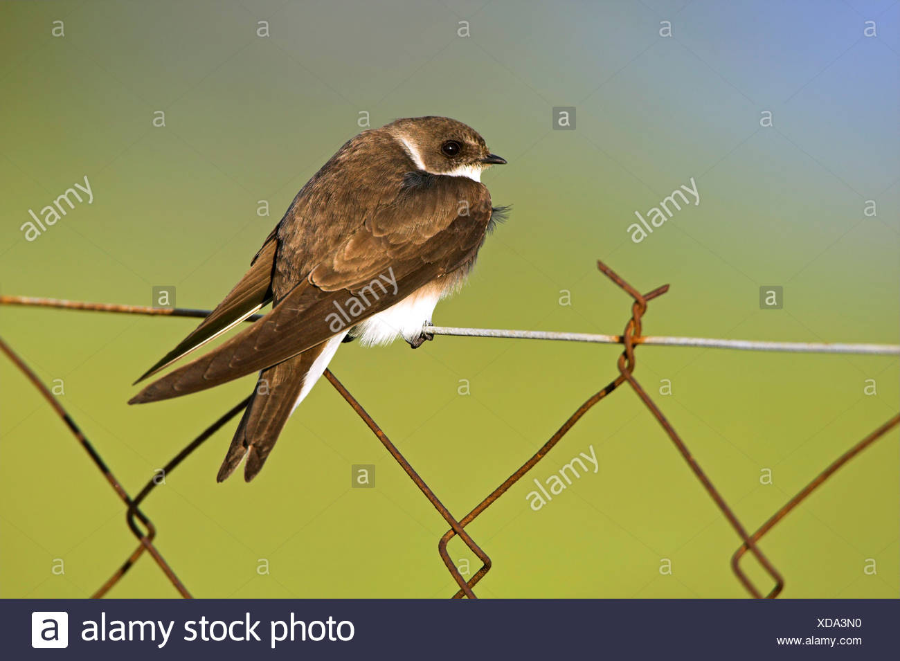 sand martin (Riparia riparia), sitting on a mesh wire fence, Greece, Lesbos - Stock Image
