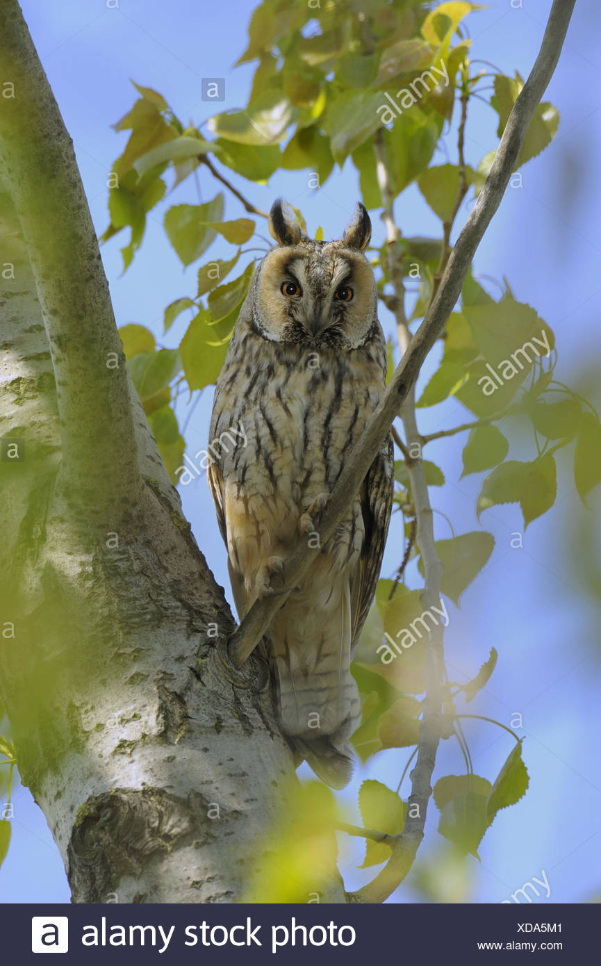 Tree, long eared owl, Asio otus, zoo, game park, broad-leaved tree, birch, branch, animals, wild animals, birds, owl's birds, owls, ear owls, sit, eyes, view, whole body, nocturnal, spring, nature, Wildlife, - Stock Image