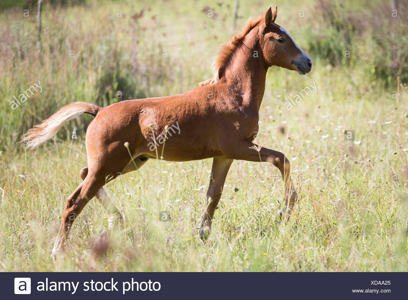 Nooitgedacht Pony. Filly-foal trotting on a pasture. South Africa - Stock Image