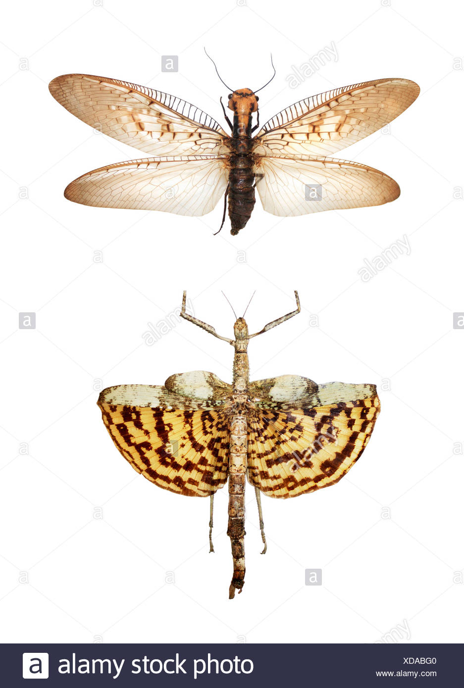 Gigantic tropical insects - Stock Image