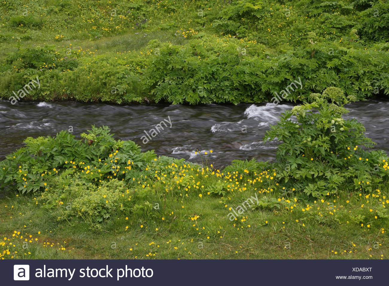 Meadow, brook, angelic herb, crowfoot, - Stock Image
