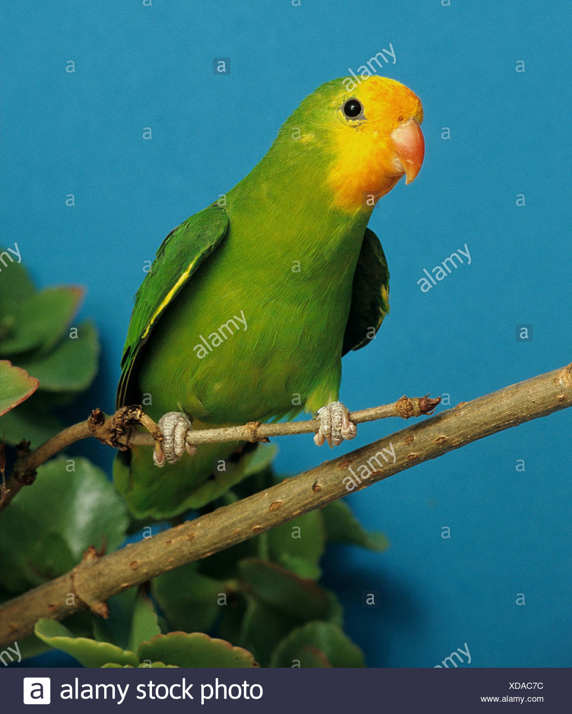 red-faced lovebird - female - on branch Stock Photo