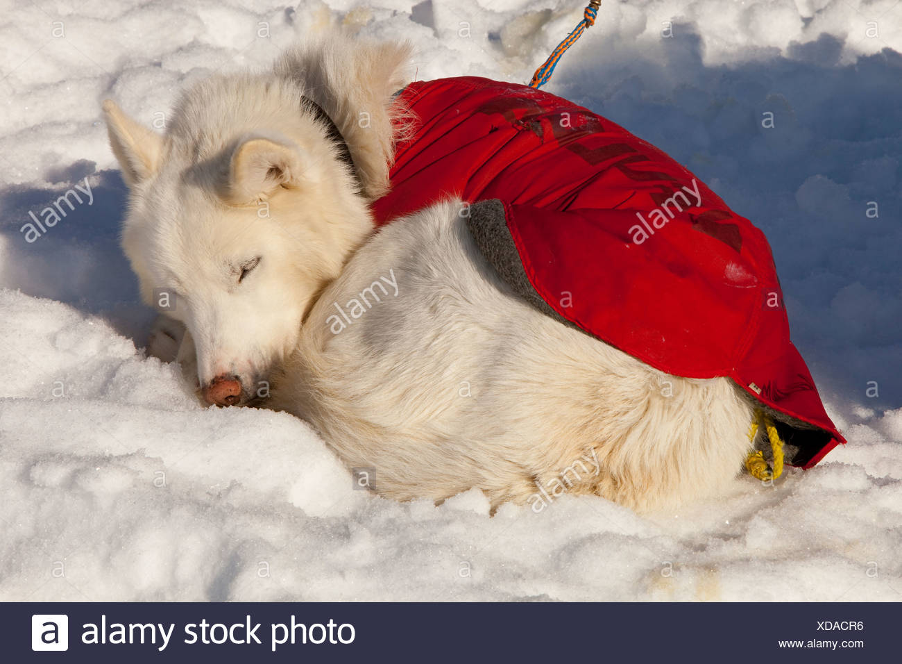 White sled dog with dog coat resting, sleeping in snow and sun, curled up, stake out cable, Alaskan Husky, Yukon Territory - Stock Image