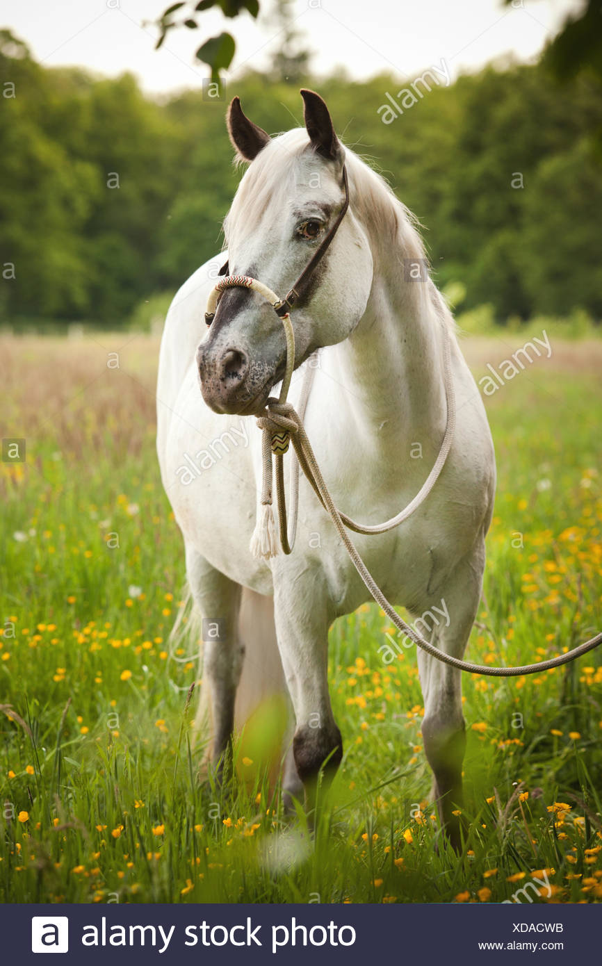 POA, Pony of the Americas, mare in foal, white horse wearing a Bosal hackamore, a bitless bridle used in Western style riding - Stock Image