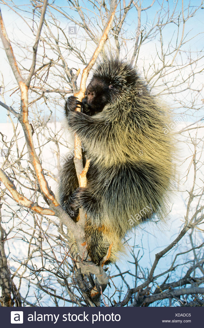 Adult porcupine (Erethizon dorsatum) foraging on bark on a winter day, Rocky Mountain foothills, Alberta, Canada Stock Photo