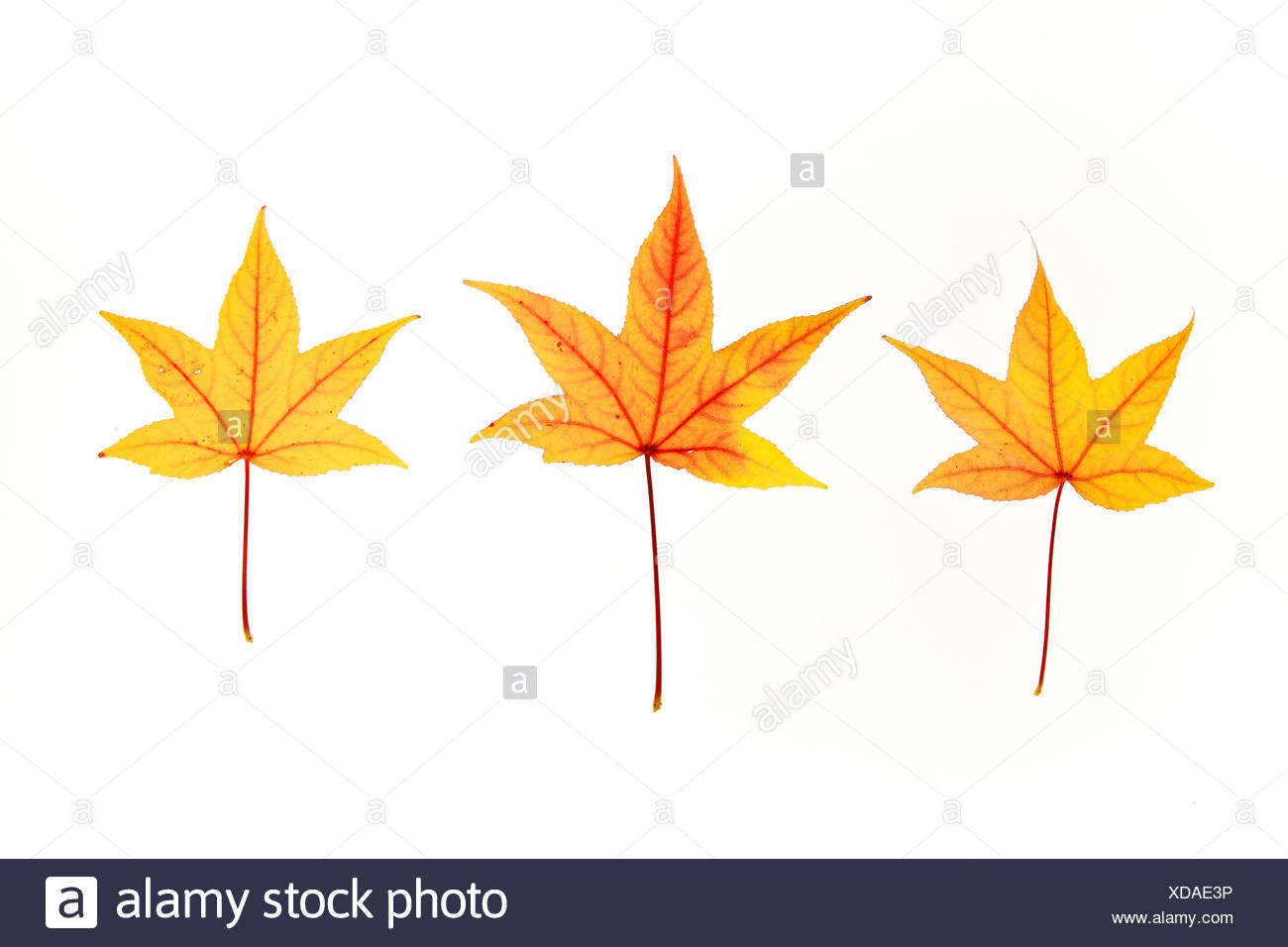 Maple, leaf, leaves, detail, isolated, back light, autumn, autumn color, autumn colors, autumn foliage, colouring, background, f Stock Photo