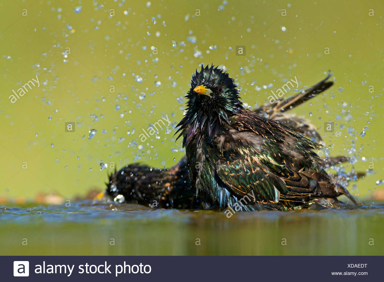common starling (Sturnus vulgaris), two starlings bathing, Germany, Rhineland-Palatinate - Stock Image