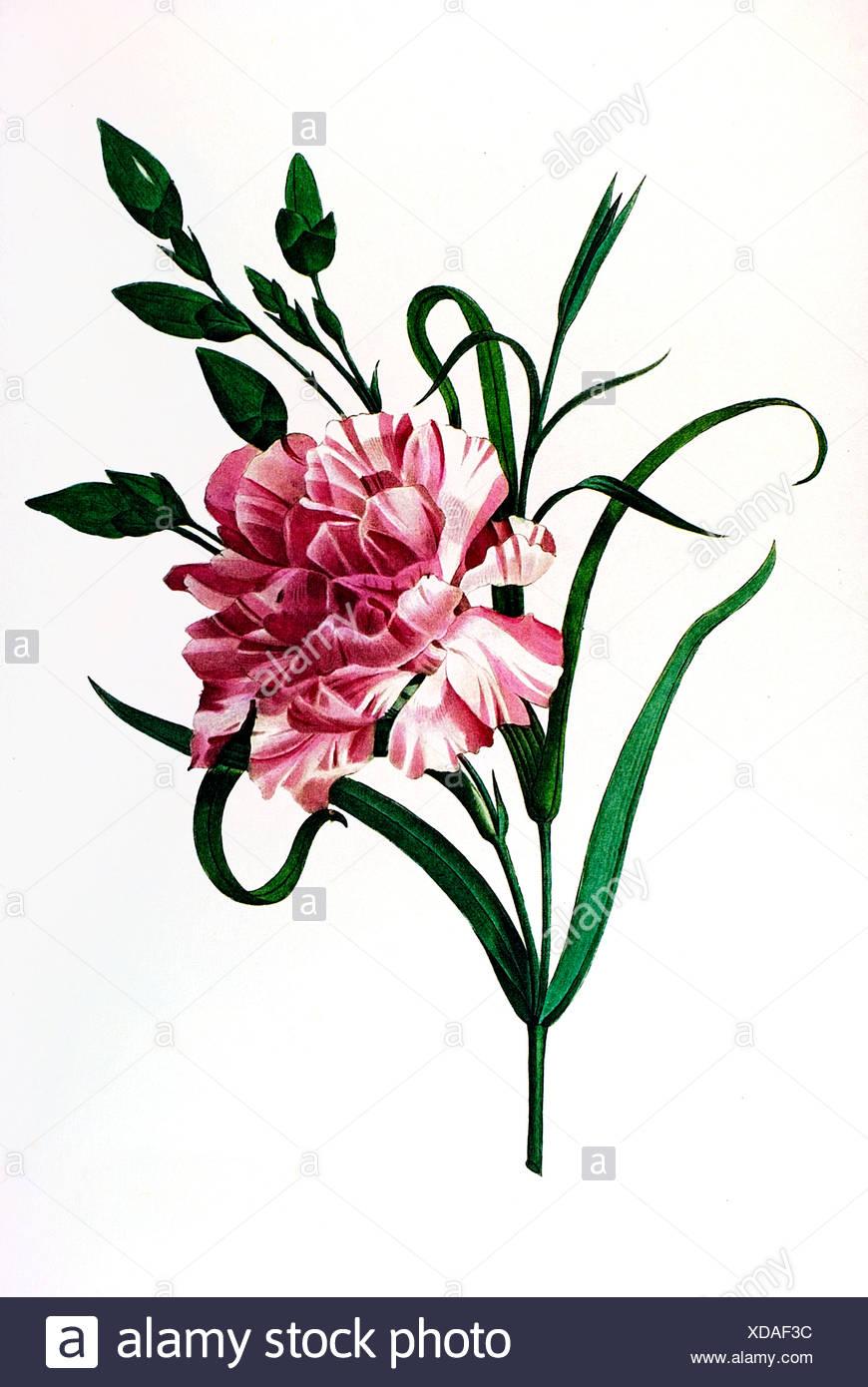 Clove Pink - Stock Image