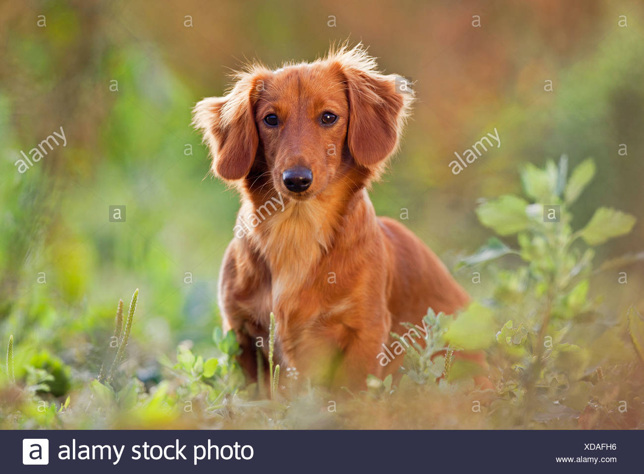 long-haired dachshund dog - sitting - Stock Image