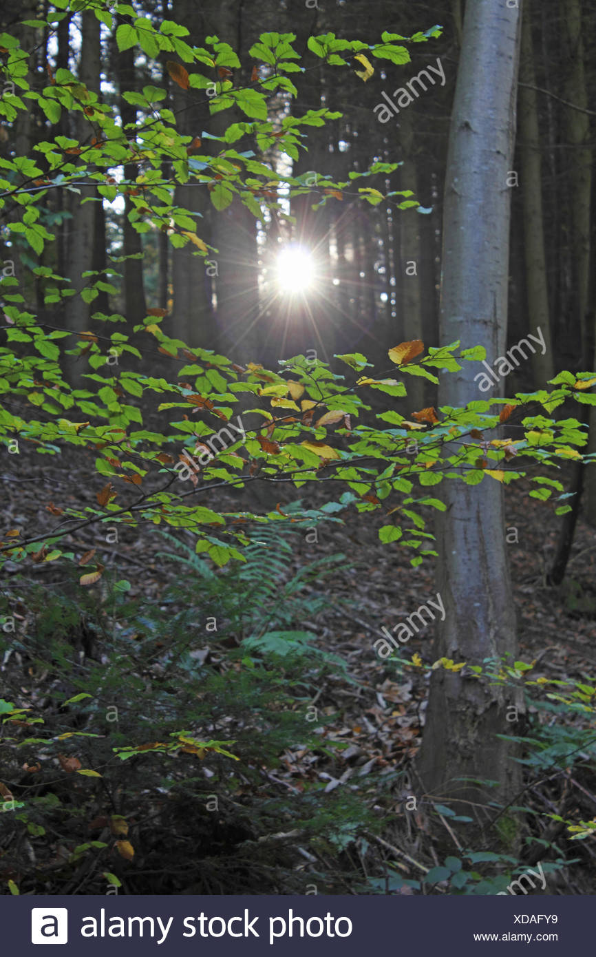 common beech (Fagus sylvatica), sunbeam cutting through the forest, Germany, Baden-Wuerttemberg, Black Forest - Stock Image