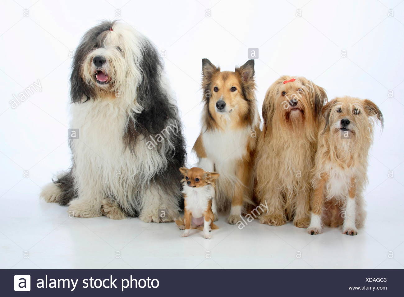 Group portrait of five dogs sitting, from left to rt: two mongrels, Rough Collie, Bobtail (Old English Sheepdog) and longhaired Chihuahua. - Stock Image