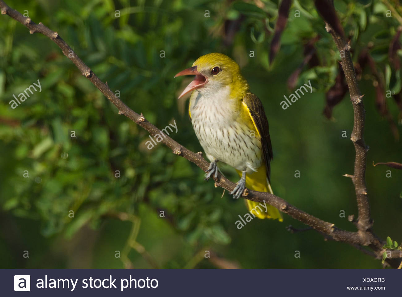 Europe, Hungary, Golden oriole bird singing on branch, close-up - Stock Image