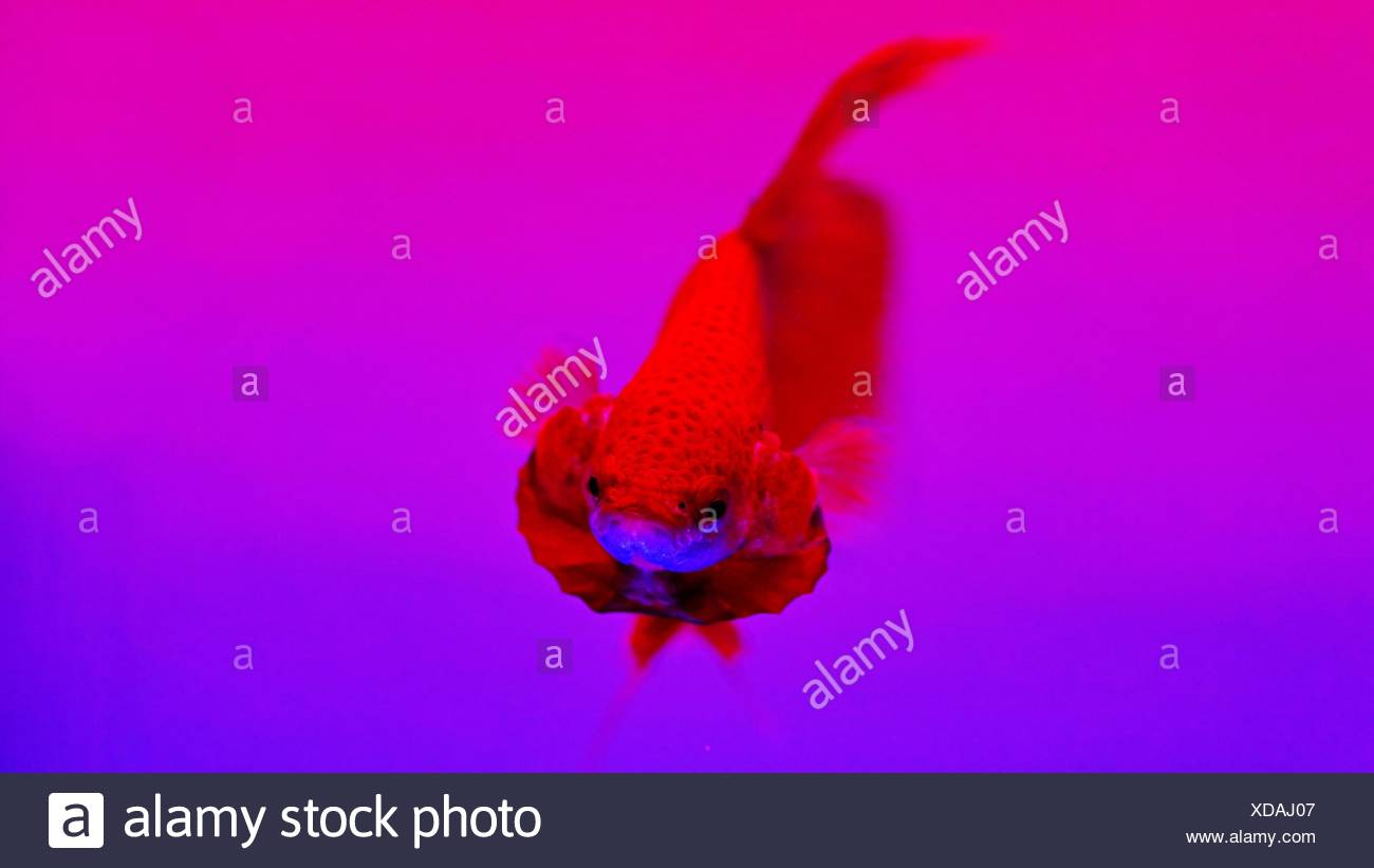 Close-Up Of Siamese Fighting Fish Swimming At Aquarium Stock Photo