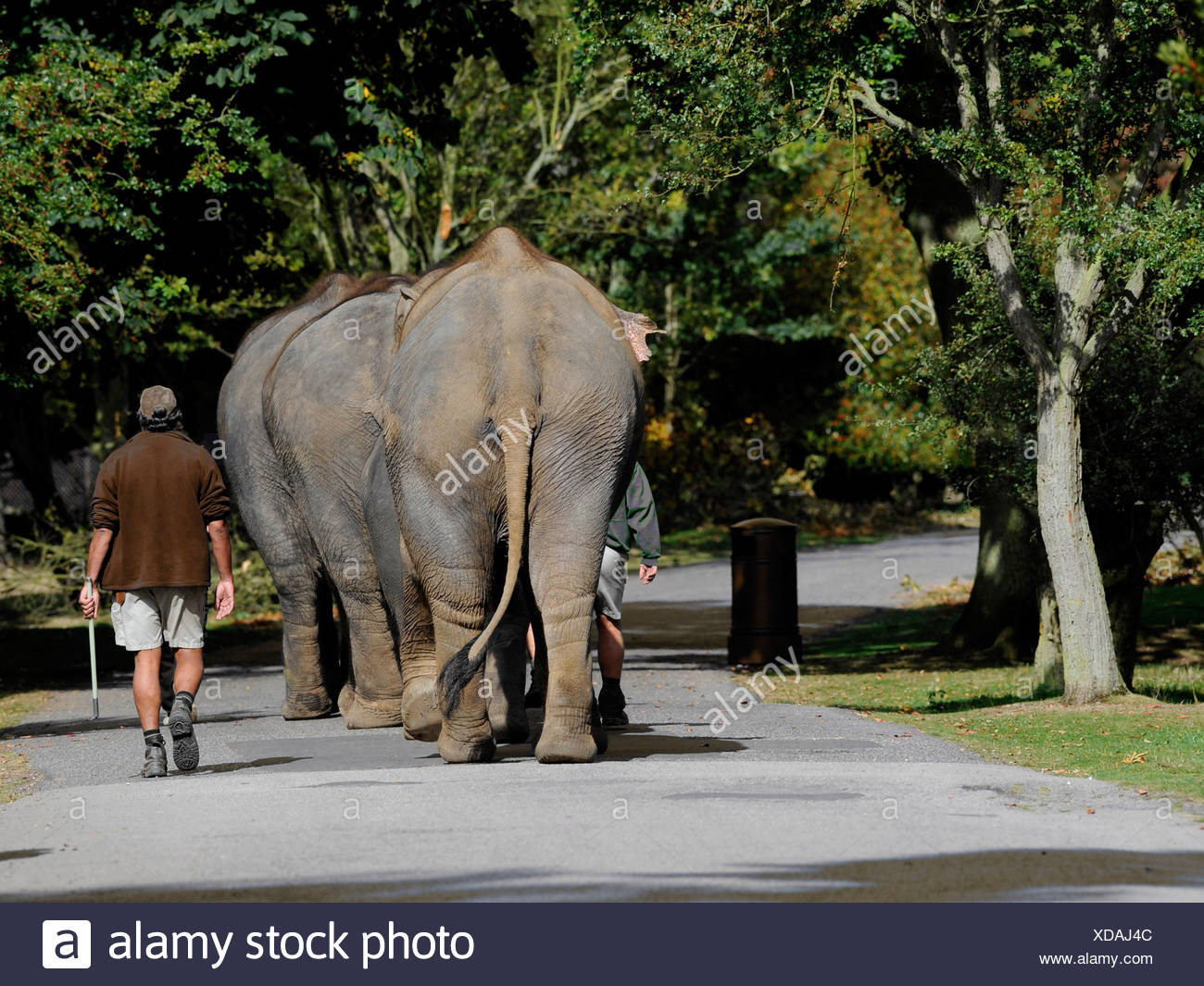 Elephants walking in a line, at a slow pace. - Stock Image