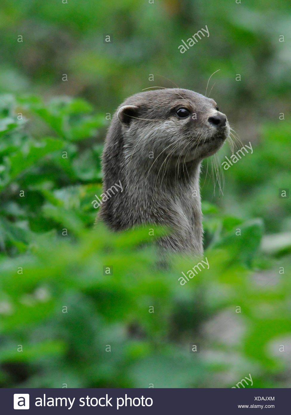 An asian short clawed otter on guard and alert amongst woodland. - Stock Image