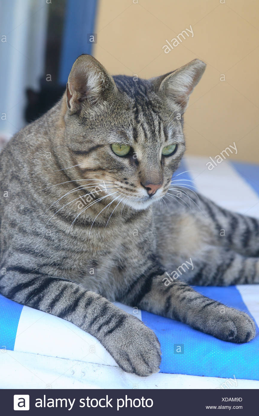 Cat striped deck chair lie animal pet house-cat free-living mammal free-liver day bed roved know-blue resting lazes about - Stock Image