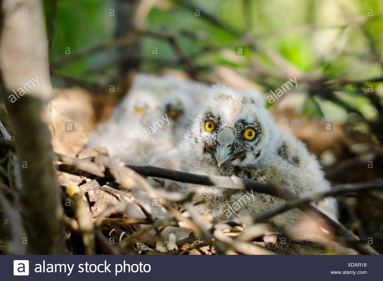 Long-eared owl little chicks in the nest - Stock Image