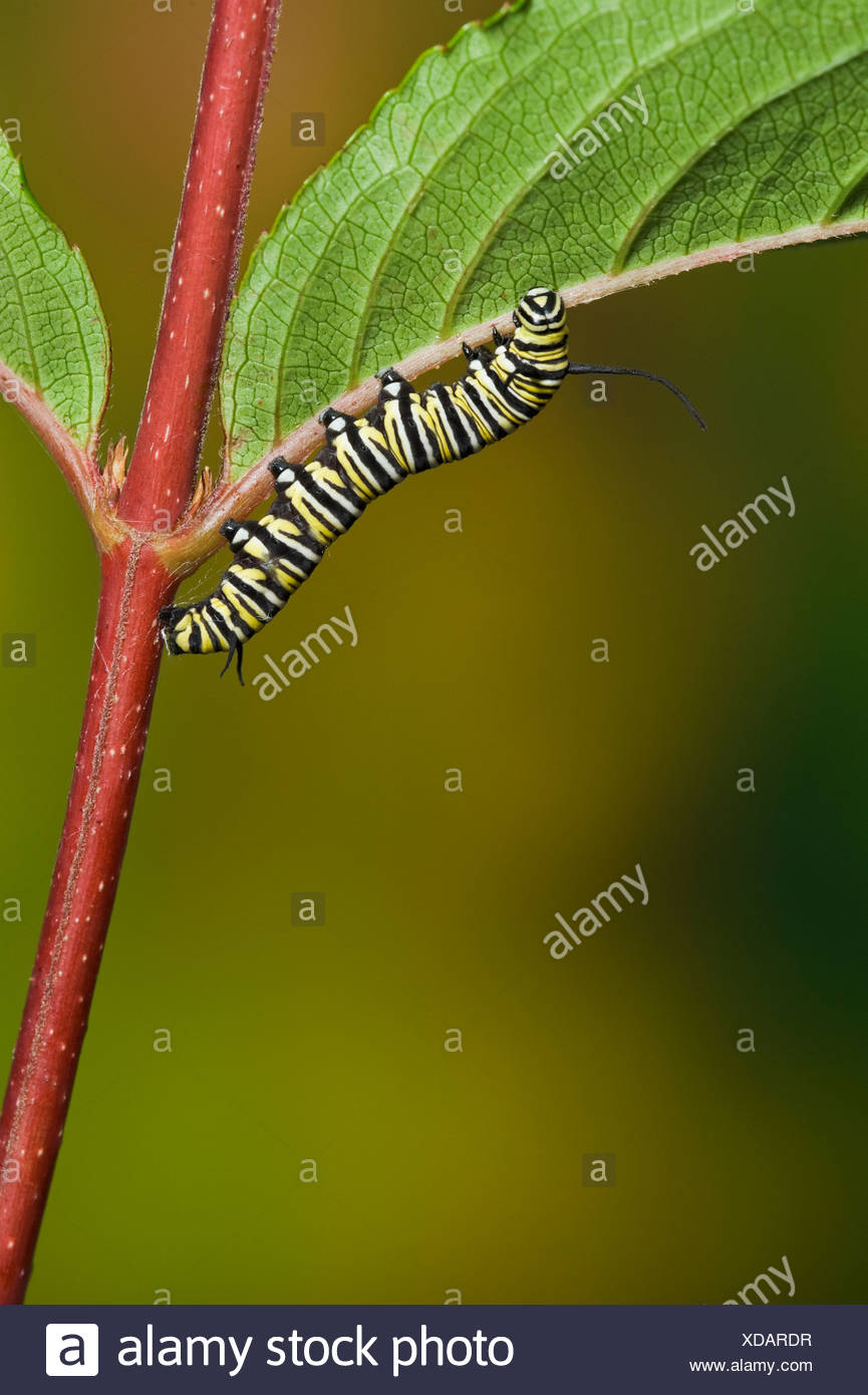 Monarch butterfly 5th instar caterpillar explores leaf in preparation for transformation, Summer, NS, series of 5 images - Stock Image
