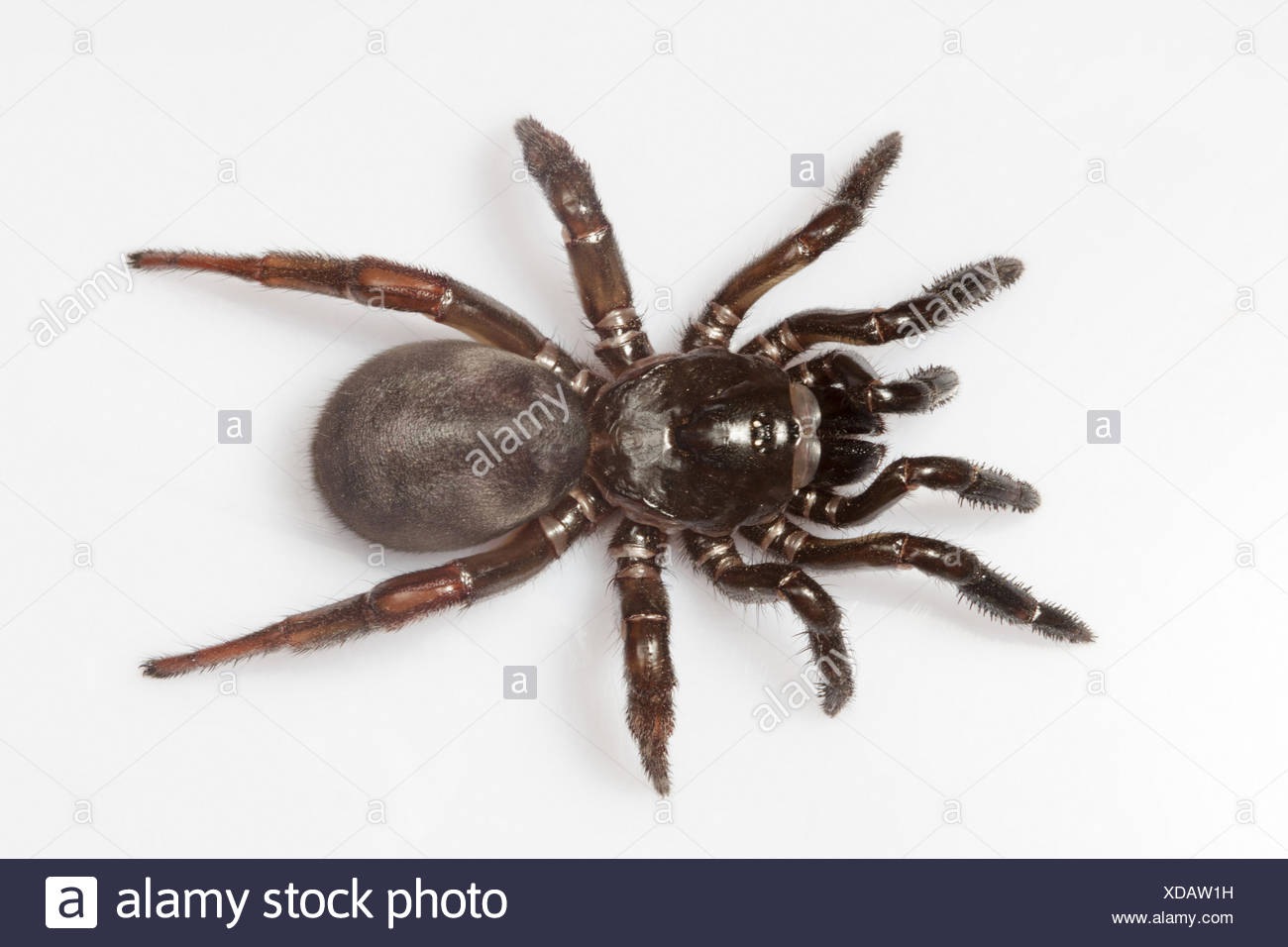 Trapdoor Spider Stock Photos Trapdoor Spider Stock Images Alamy