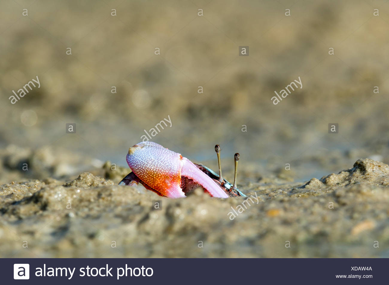 A male Fiddler Crab guarding the entrance to his burrow with a large claw. - Stock Image