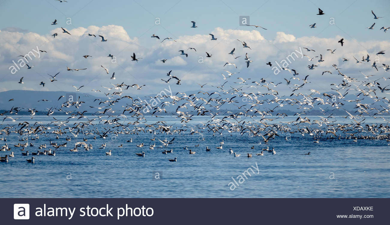 Seagulls and other birds flying over sea, Puget Sound, Washington, USA - Stock Image
