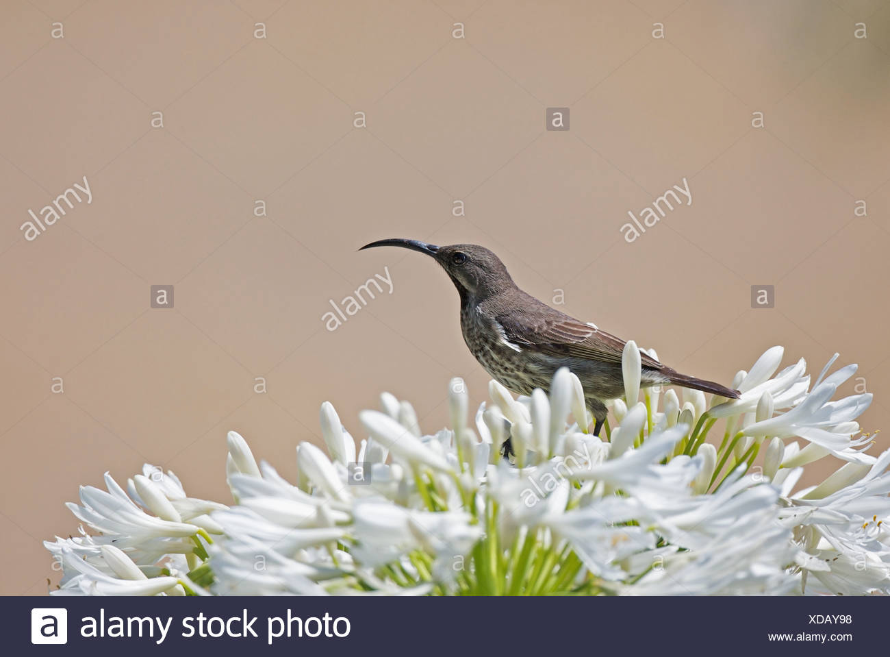 Female Greater Double-collared Sunbird Cinnyris afer feeding on Agapanthus flower in Outeniqua Mountains Western Cape Province - Stock Image