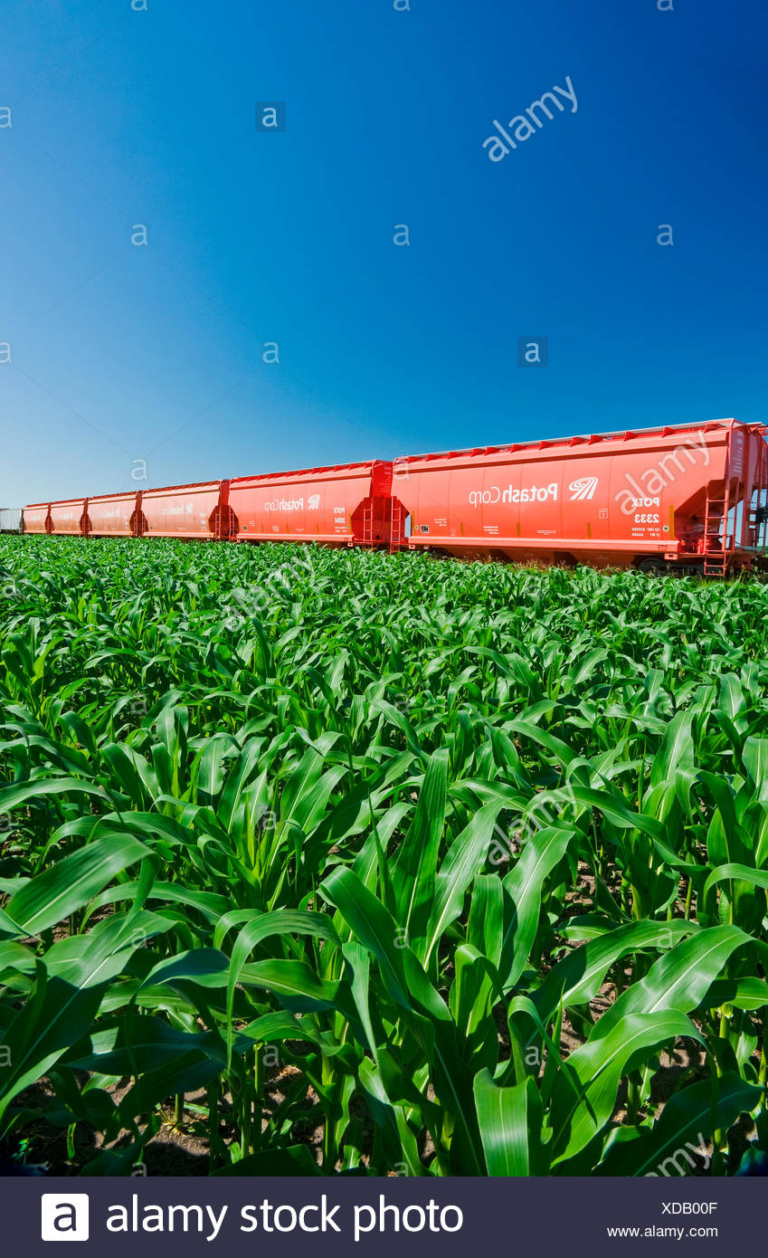 rail hopper cars carrying potash next to a grain corn field, near Carman, Manitoba, Canada - Stock Image
