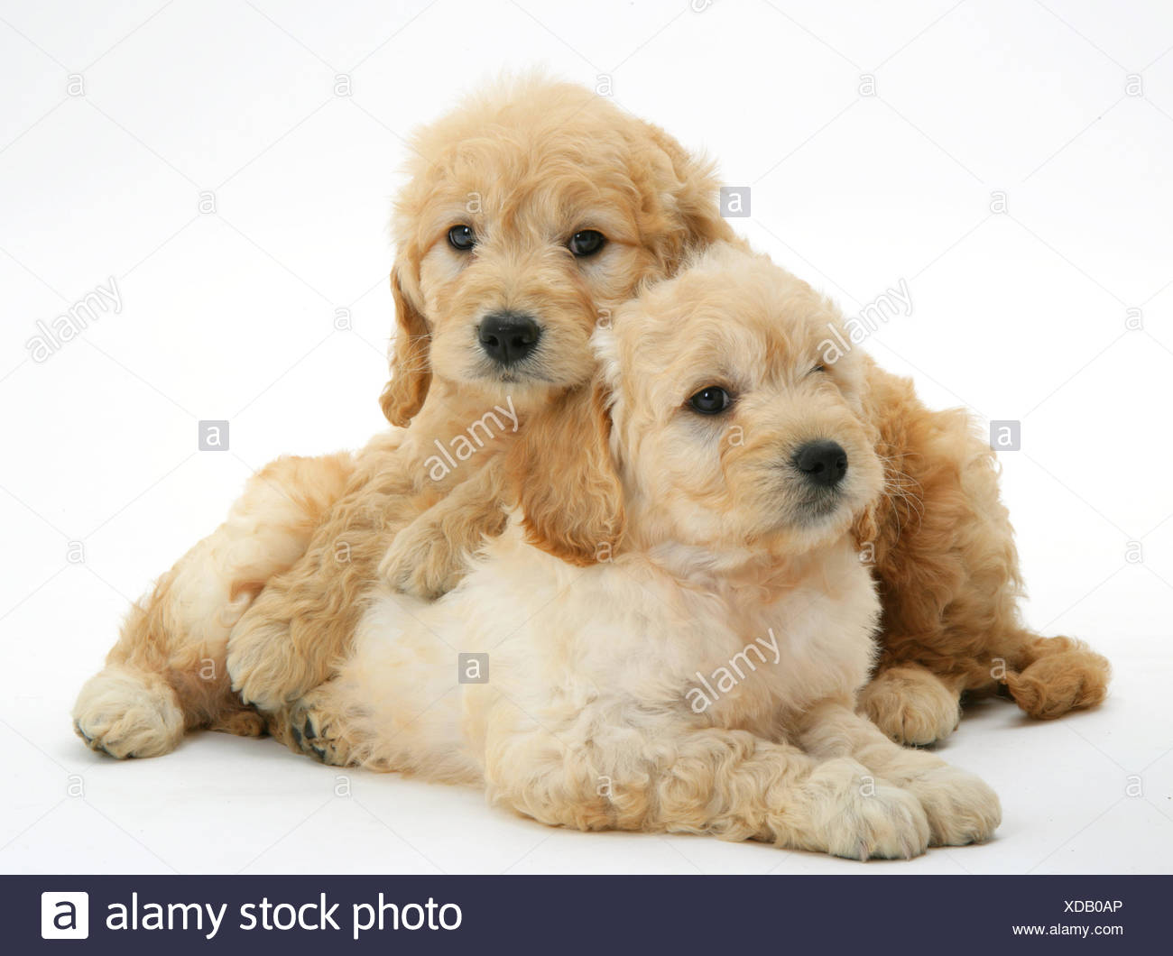 Two Miniature Goldendoodle Puppies Golden Retriever X Miniature Poodle Cross 7 Weeks One Lying Across The Other Stock Photo Alamy