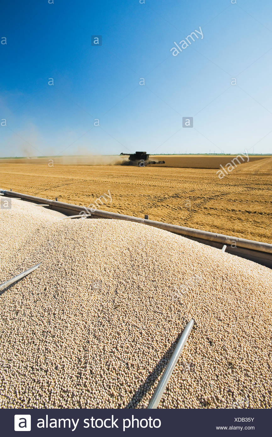 yellow field peas in the back of a farm truck during the harvest, near Winnipeg,  Manitoba, Canada - Stock Image