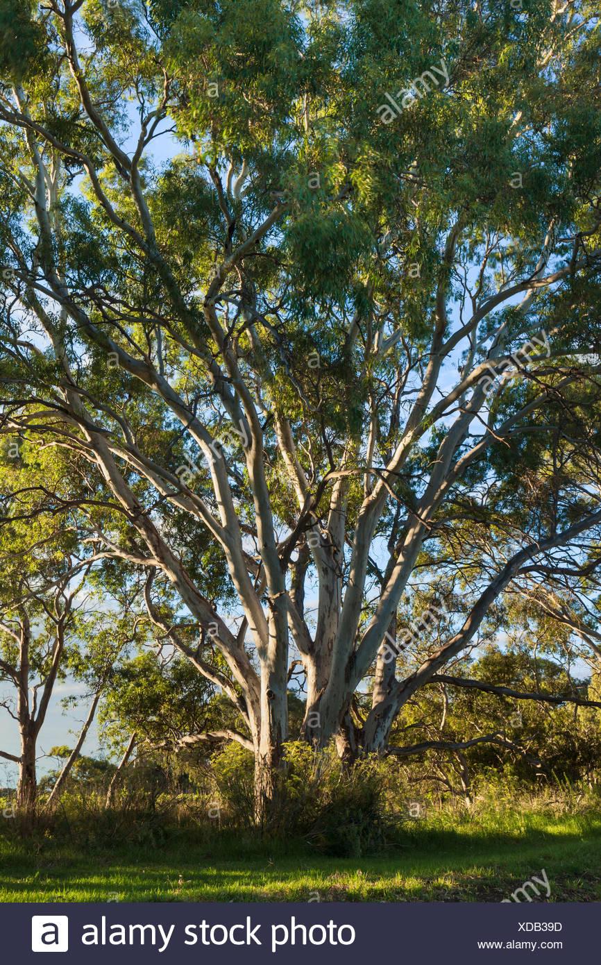Strathalbyn, Australia, south Australia, eucalyptus Stock Photo