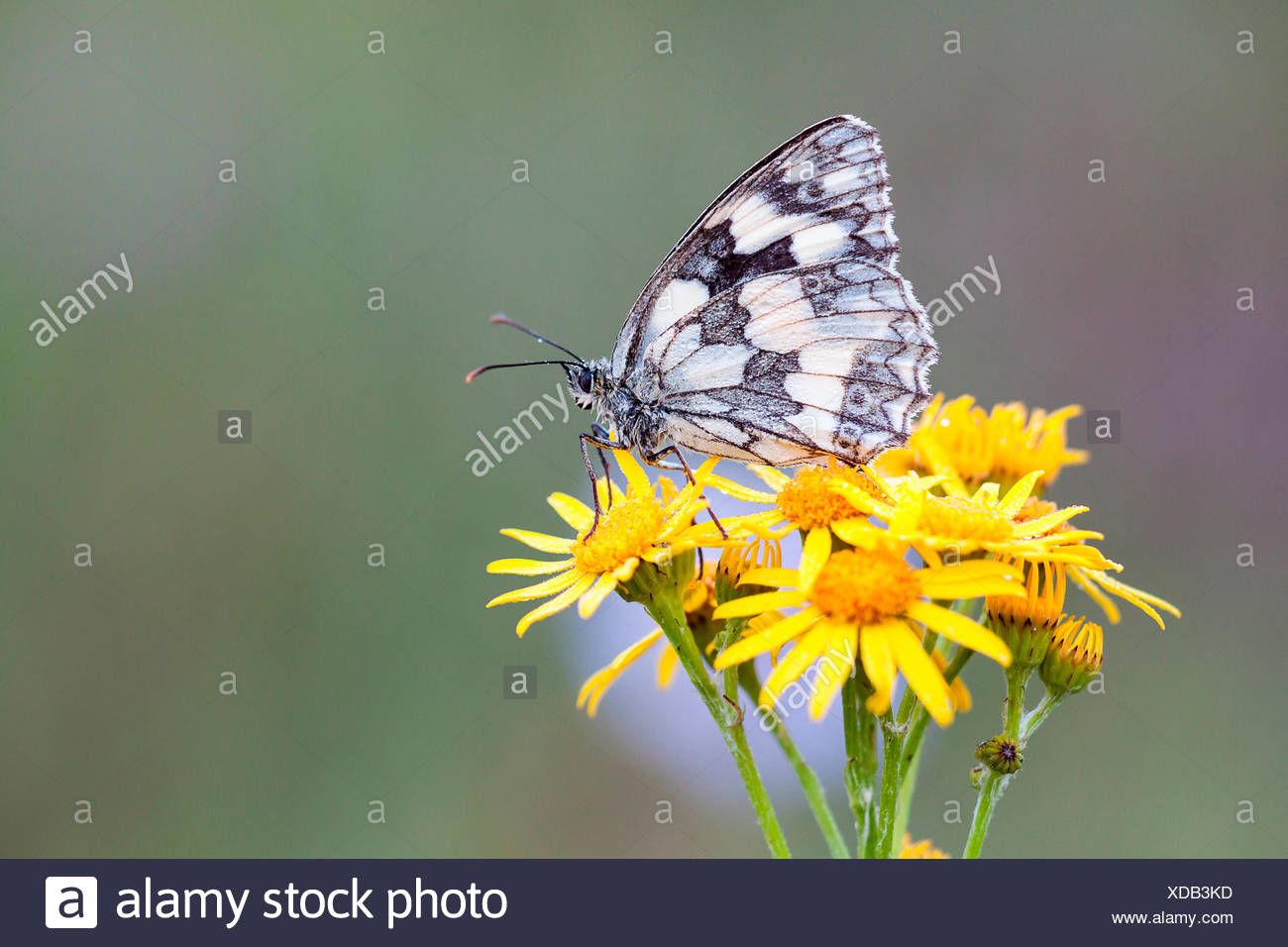 Marbled White (Melanargia galathea) on Ragwort (Senecio jacobaea), North Hesse, Hesse, Germany - Stock Image