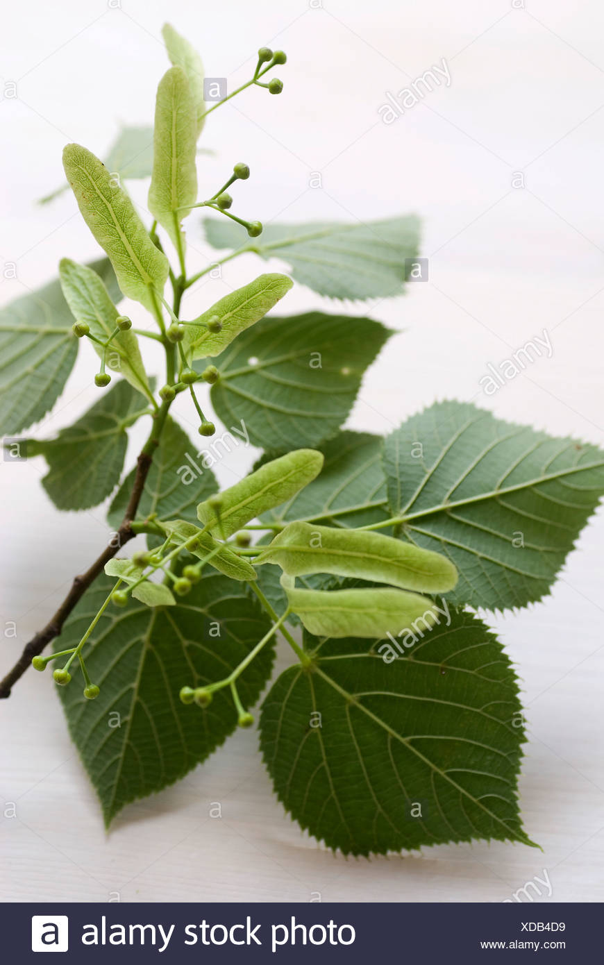 Branch from a lime tree - Stock Image