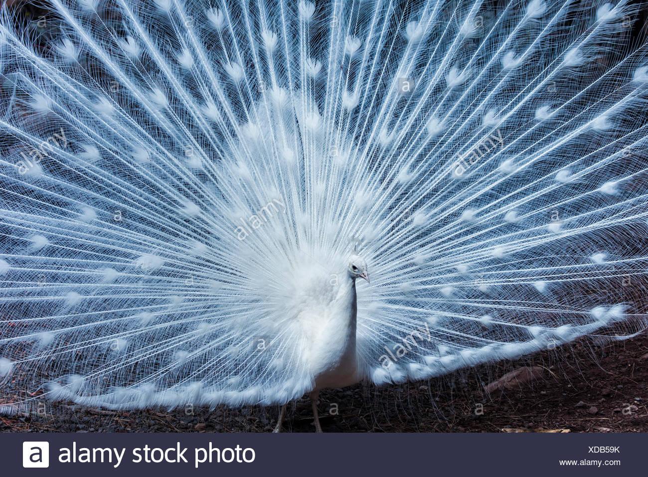 albino peacock, pavo cristatus - Stock Image