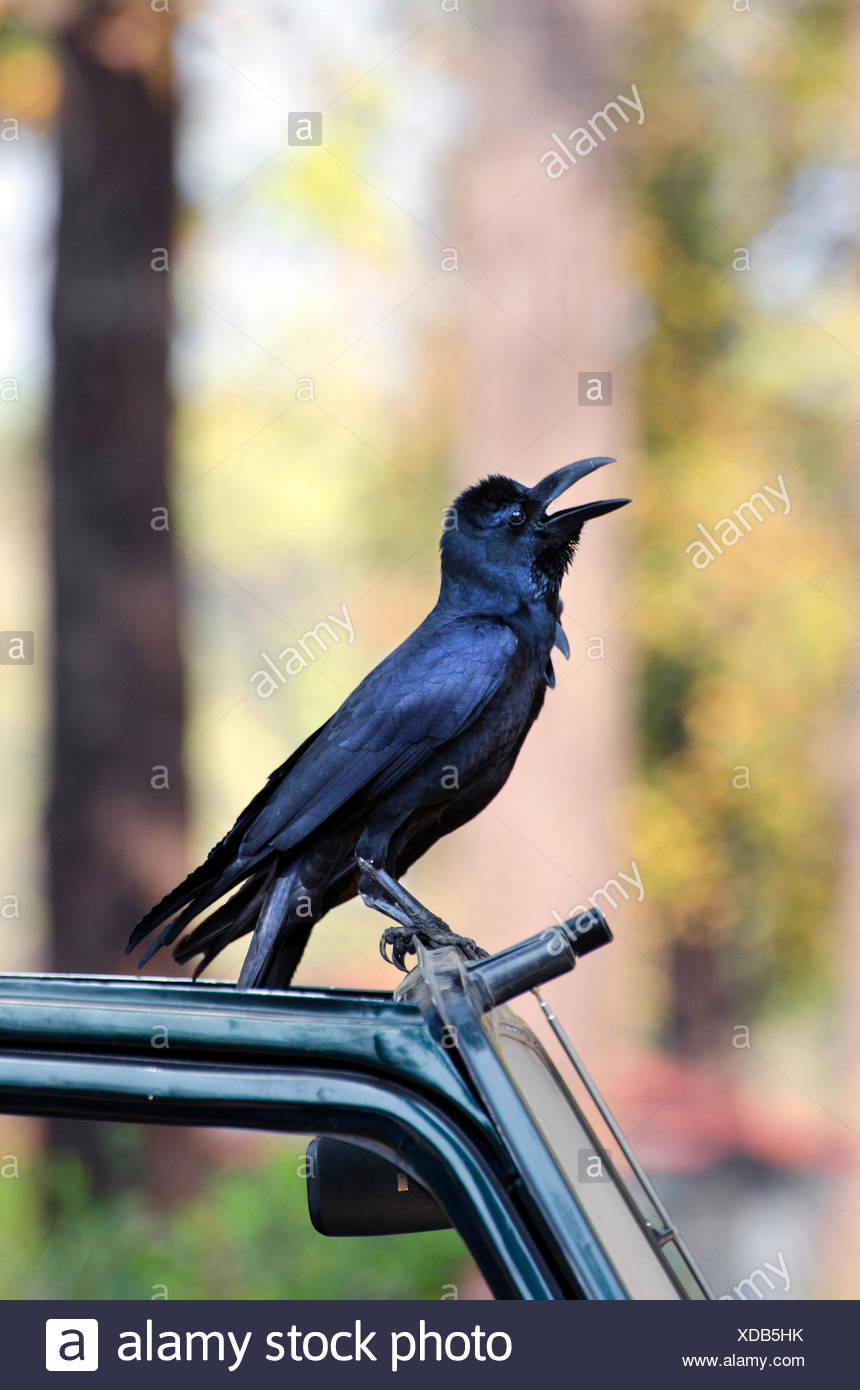 Indian Jungle Crow  (Corvus culminatus), sitting on a car and calling, India, Madhya Pradesh - Stock Image