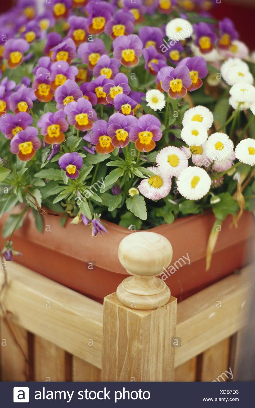 Flowerpot, pansy, daisy, medium close-up, summer, flowers, decoration, flower decoration, case, flower tub, Pflanztrog, wooden, Bellies, summer flowers, detail, - Stock Image