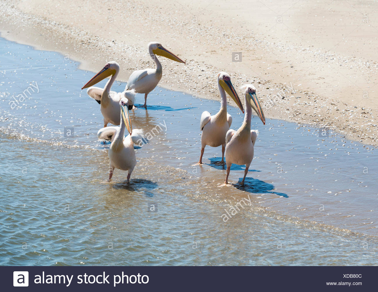 White Pelicans (Pelecanus onocrotalus) in Walvis Bay, Namibia - Stock Image