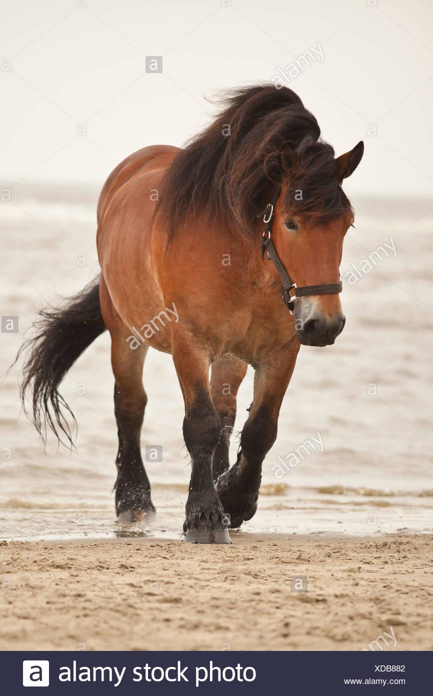 Belgian Draft Horse gelding, roaming free on the beach of Borkum, Lower Saxony, Germany - Stock Image