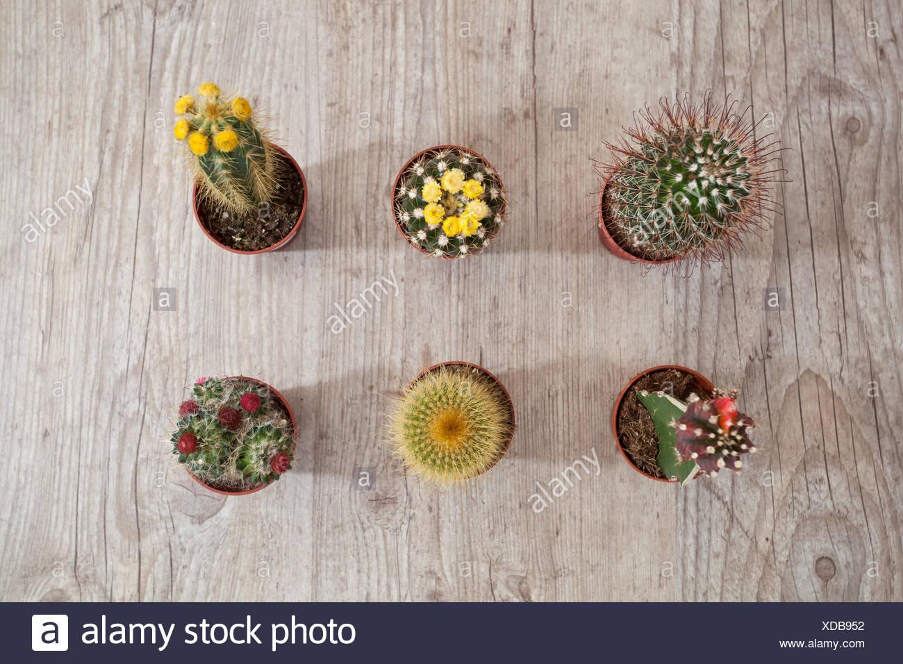 botany, decoration, cactus, maddening, pert, coquettish, cute, plant, garden, - Stock Image