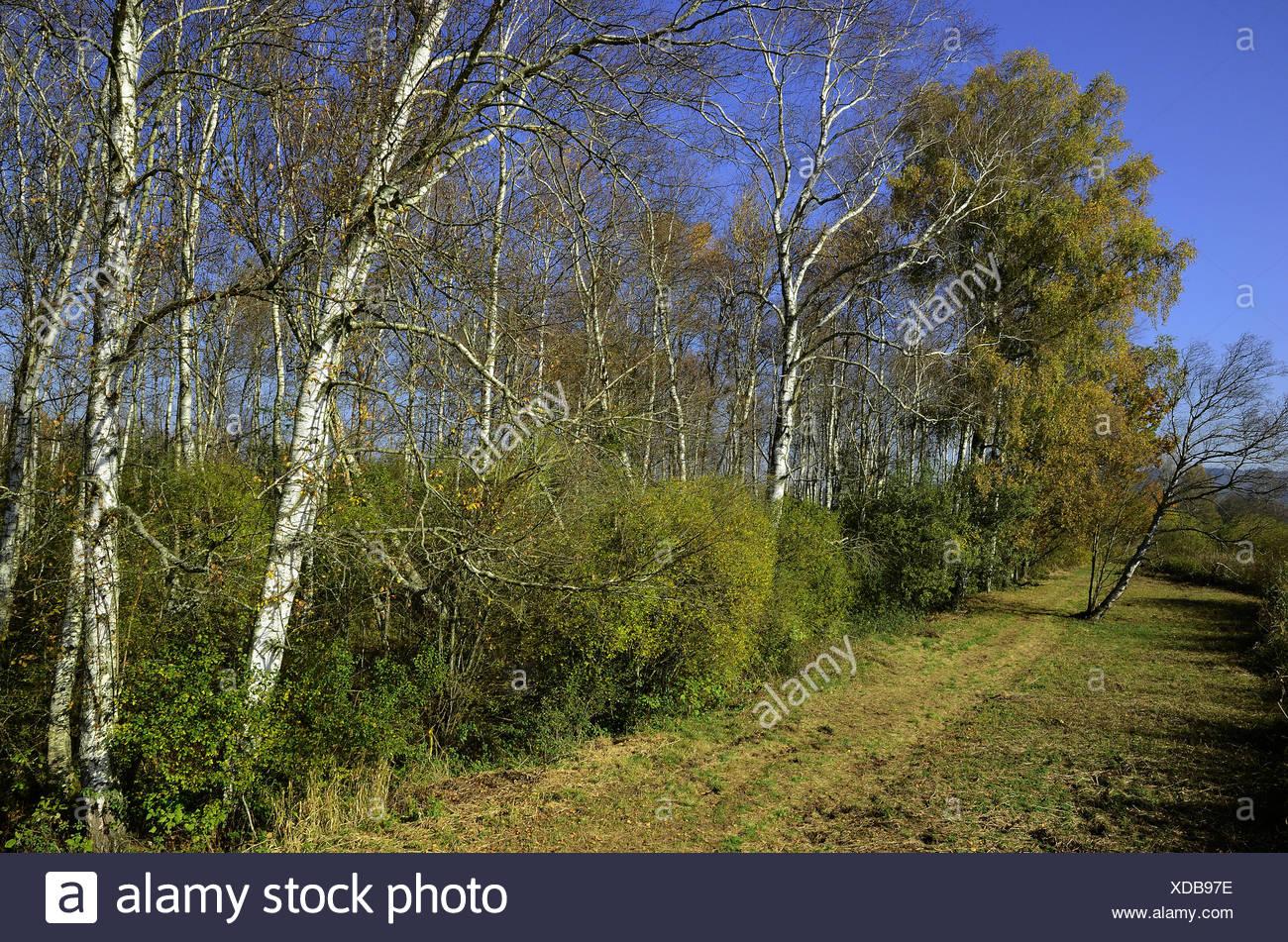 birch forest, bog, swamp, Stock Photo
