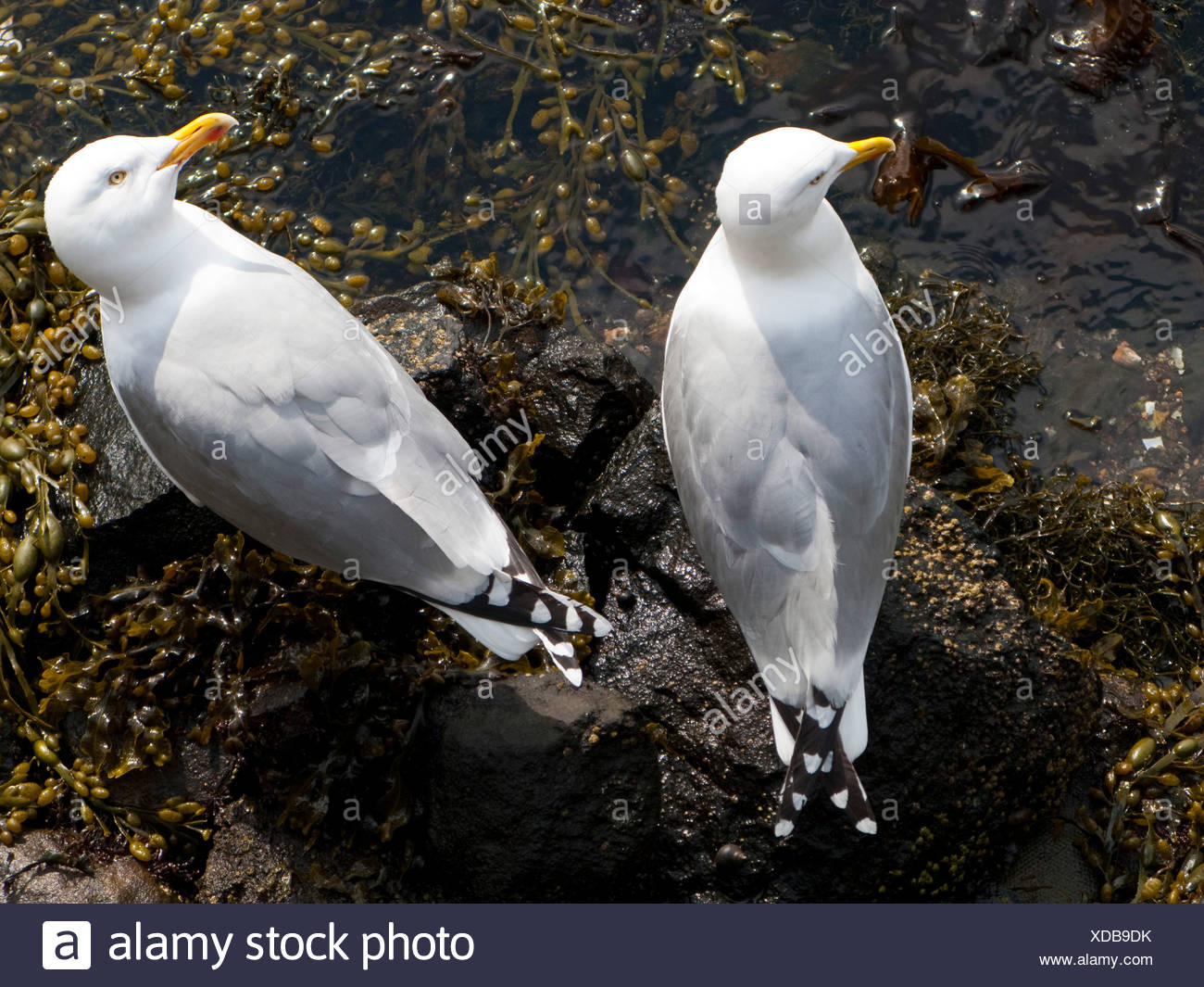 2 Herring Gulls - Stock Image