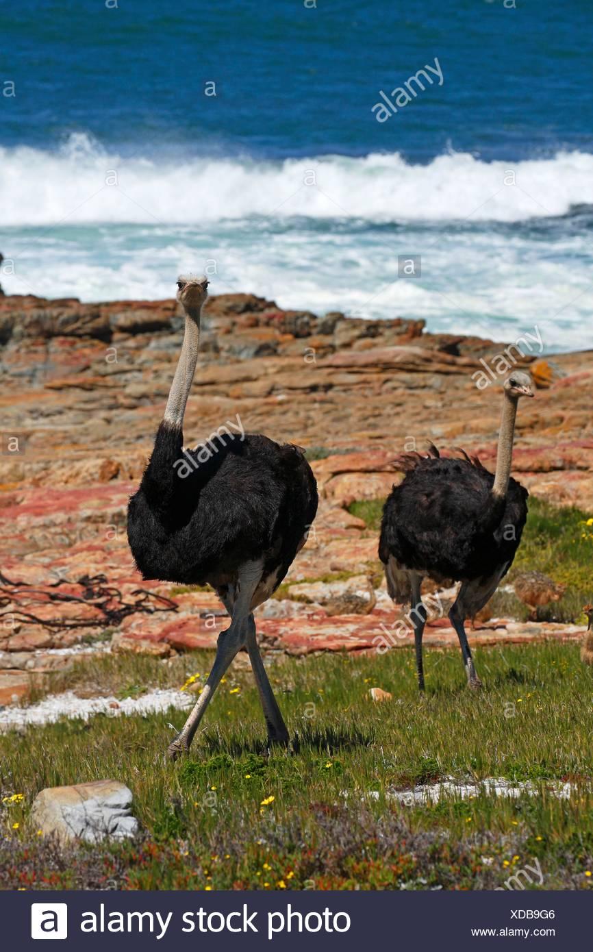 Suedafrikanische Strausse (Struthio camelus australis), maennlich, Kap der Guten Hoffnung, Nationalpark Tafelberg, Westkap, Republik Suedafrika - Stock Image